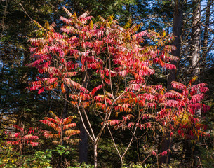 bright red and orange leaves  of a sumac bush in the fall