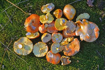 mushroom harvest