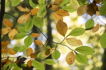 hersftbladeren aan beukenboom