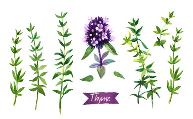 Thyme  twigs and flowers watercolor illustration with clipping paths