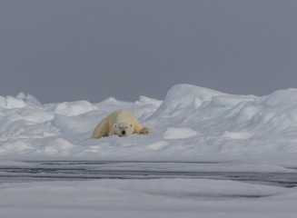Just Drifting along - An adult polar bear takes a nap on the drifting pack ice.