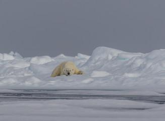 Just Drifting along - An adult polar bear takes a nap on the drifting pack ice.