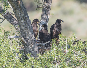 Three Eaglets To Fledge - Three bald eaglets are outgrowing their nest and will be fledging soon.