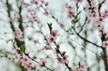 Close up Peach Blossoms Pink flowers