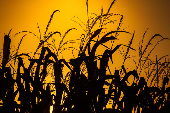 A corn field in silhouette in front of a yellow sunset sky.