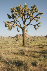 Joshua trees and spring wildflowers in the Mojave desert, dawn, Joshua Tree NP, CA, USA