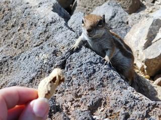 Streifenhörnchen mit Erdnuss füttern
