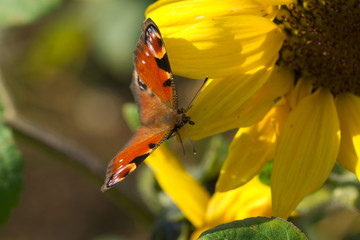 peacock butterfly on a sunflower