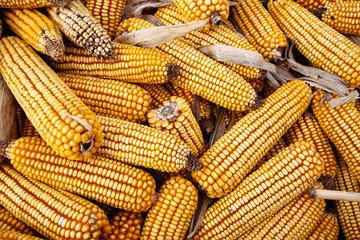 Corn pile outdoor