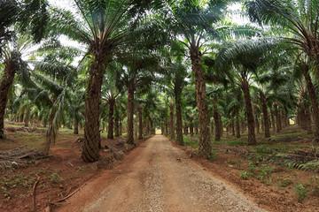 Sideroad throught palm tree plantation