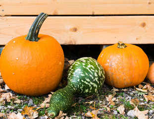 Variegated bright pumpkins. Autumn harvest.