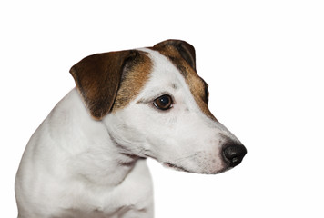 Jack Russell on an isolated white background