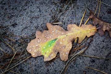 oak leaf with water drops