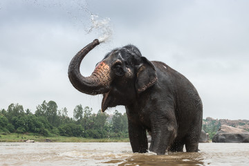 Asian elephant enjoys bathing in the river
