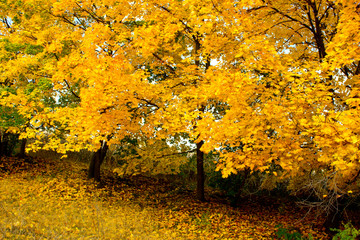 Autumn in yellow maple dressed