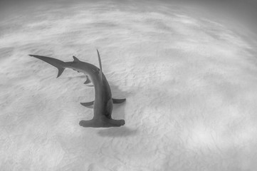 Great Hammerhead Shark Over Sand in the Bahamas