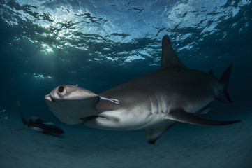 Hammerhead Close-Up