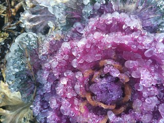 Iced Over Purple Kale