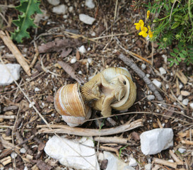 coupling of two big snails with shells
