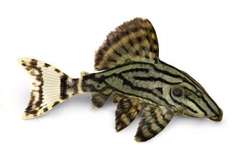 Royal Pleco Panaque nigrolineatus, or royal plec aquarium fish