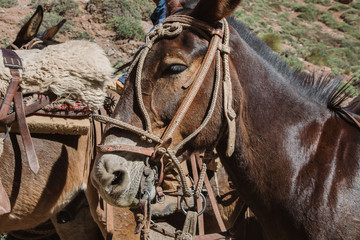 Pack mule donkey with reins and bridle