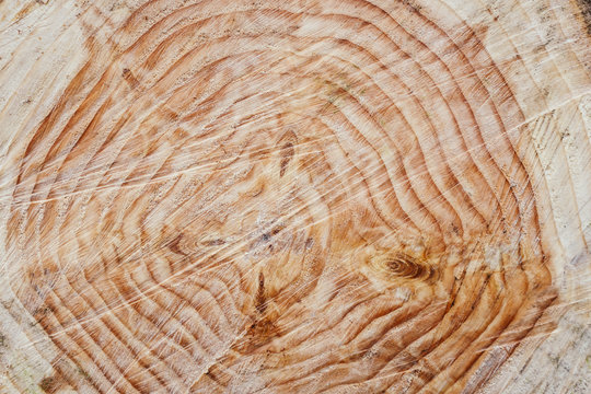 Tree rings on freshly cut evergreen, close up