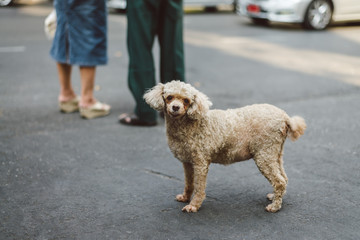 Cute poodle standing on the street