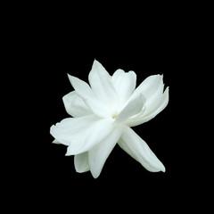 Jasmine flower isolated on black background.