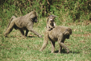 African baboons
