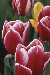 Closeup of tulips (Tulipa) variegated red white yellow flowers blooms blossoms vertical