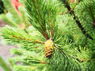 Fresh pine cone on tree