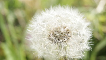 White Dandelion with green background