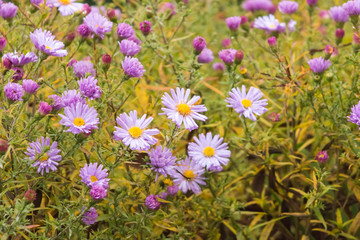 beautiful autumn perennial violet chrysanthemum close-upbackground