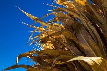 Dried corn stalks against a deep blue sky