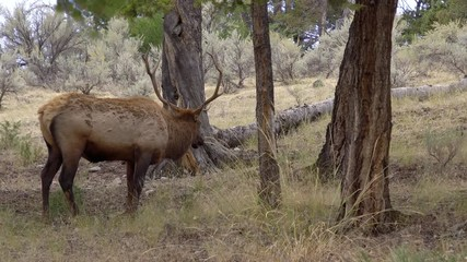 Wall Mural - Bull Elk with trophy antlers grazing in forest