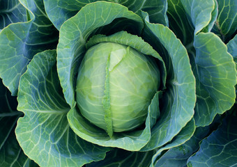 The green head of cabbage in the garden