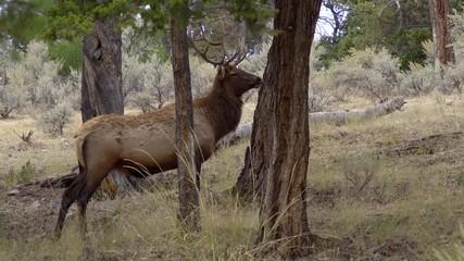 Wall Mural - Bull Elk standing in forest looking around in Wyoming.