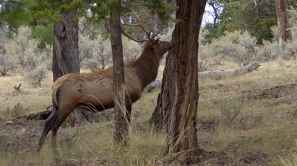 Wall Mural - Bull Elk with trophy antlers sniffing breeze in forest