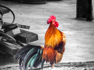 Rooster crows thai call its friend in nature farm