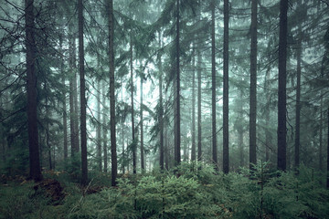 Wall Mural - Mystic green seasonal foggy conifer forest trees.