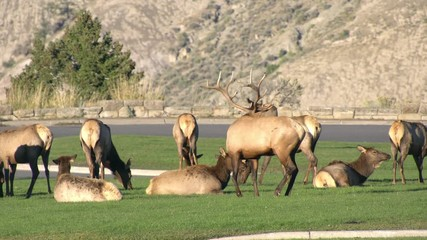 Wall Mural - Elk hanging out on green grass in Wyoming.