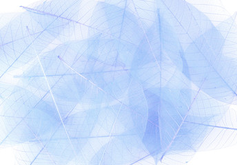Skeleton blue leaves