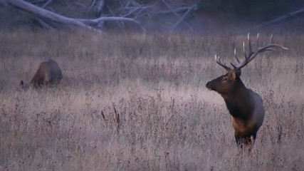 Wall Mural - Bull Elk standing in field before dawn on cold morning in Wyoming.