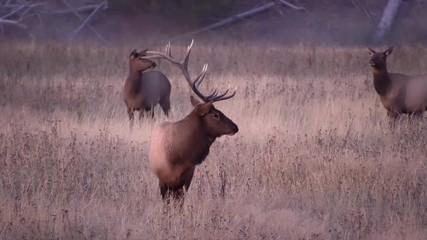 Wall Mural - Bull Elk in field watching herd graze the grass at dawn in Wyoming.