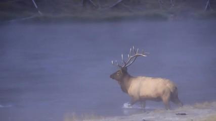 Wall Mural - Bull Elk crossing river on cold morning at dawn as fog rolls through.