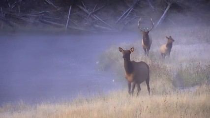 Wall Mural - Elk walking along river at dawn on cold foggy morning in Yellowstone.