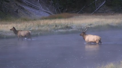 Wall Mural - Bull and cow elk crossing water on cold foggy morning in Wyoming.