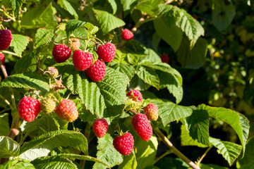 Closeup of raspberry branch with ripe berries in sunlight. Shallow depth of field.