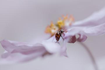 Marienkäfer auf zarter Blüte