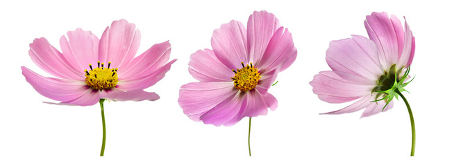 Set of three pink Cosmos bipinnatus flowers with different perspective isolated on white background. Ornamental garden plant Cosmos bipinnatus close-up macro.